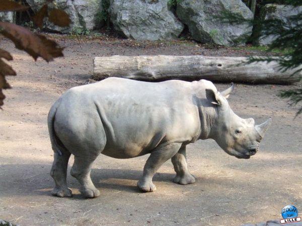 Rhinocéros au Zoo de Lille