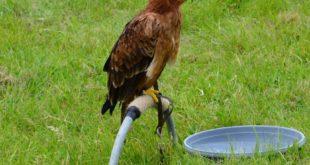 Spectacle de fauconnerie au Zoo de Lille le dimanche 25 août 2013