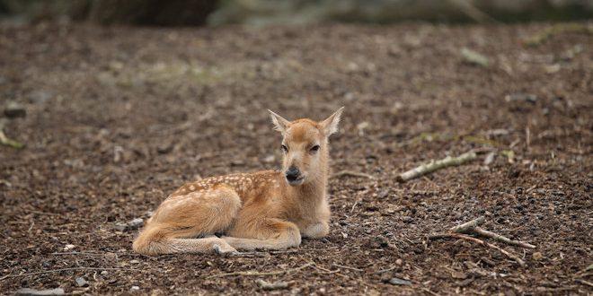 [Carnet rose] Naissance d'un Cerf du Père David dans le jardin zoologique Pairi Daiza