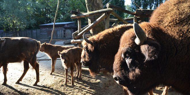 [Carnet rose] Le mois dernier, trois Bisons d'Europe sont nés à Bellewaerde