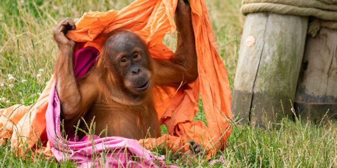 Pairi Daiza espère la naissance de 2 orangs-outans