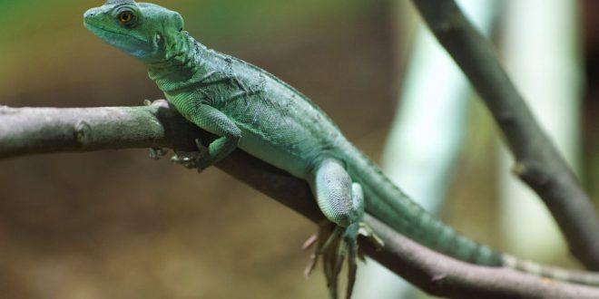 En 2020, la Fondation Pairi Daiza a recueilli 477 reptiles (tortues, serpents, lézards, caïmans à lunettes)