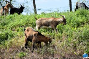 Parc de la Citadelle - Moutons + Chèvres + Poneys + Ânes