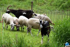Moutons et Chèvres dans le Parc de la Citadelle de Lille